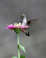 Hummingbird Galleries